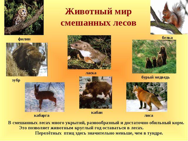 Животный мир смешанных лесов зубр В смешанных лесах много укрытий, разнообраз...
