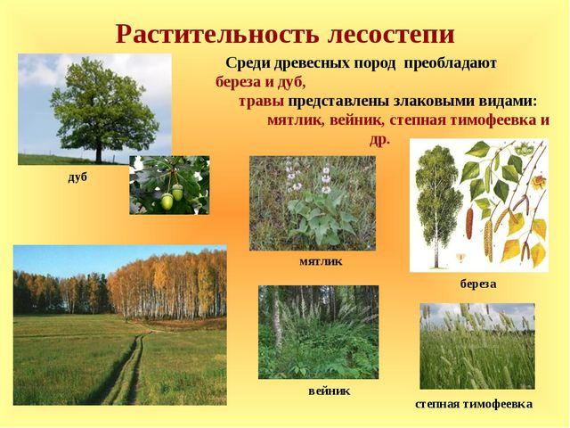 Растительность лесостепи Среди древесных пород преобладают береза и дуб, трав...