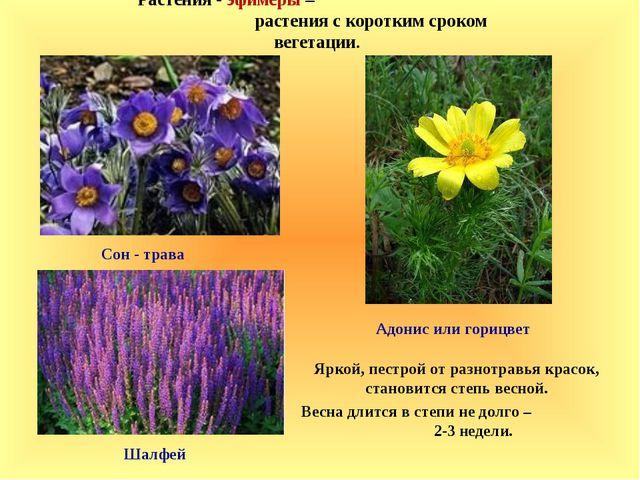 Растения - эфимеры – растения с коротким сроком вегетации. Яркой, пестрой от...