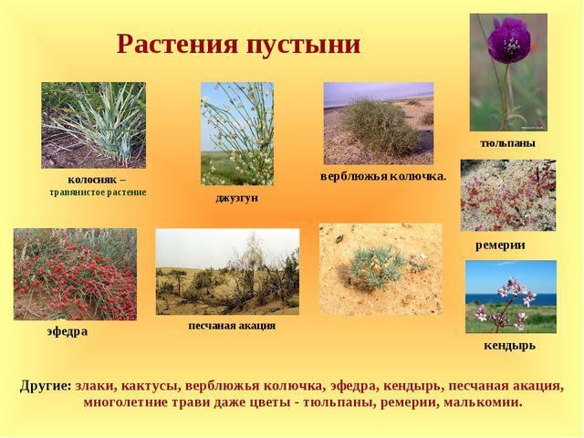 Растения пустыни эфедра кендырь ремерии Другие: злаки, кактусы, верблюжья кол...