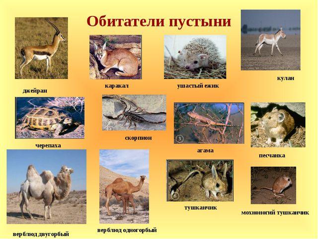 Обитатели пустыни джейран верблюд двугорбый кулан верблюд одногорбый скорпион...