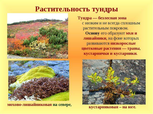 Растительность тундры мохово-лишайниковая на севере, кустарниковая – на юге....