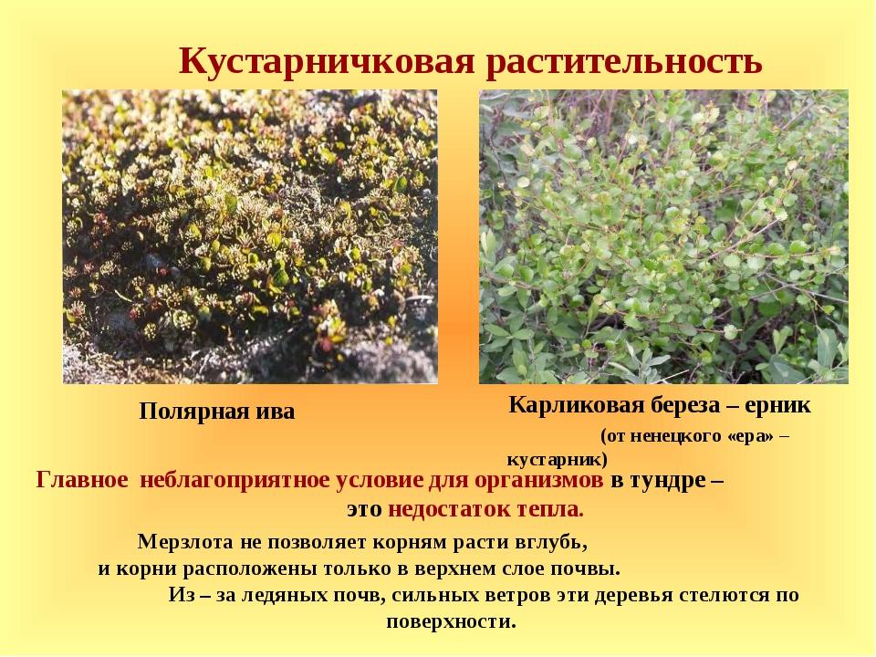 Кустарничковая растительность Главное неблагоприятное условие для организмов...