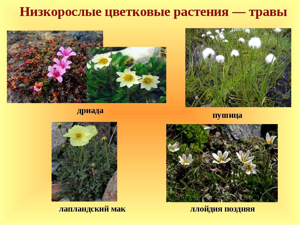 Низкорослые цветковые растения — травы пушица лапландский мак ллойдия поздняя...