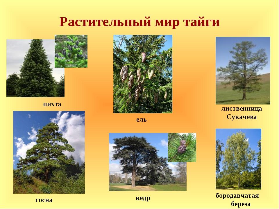 Растительный мир тайги пихта сосна лиственница Сукачева кедр ель бородавчатая...