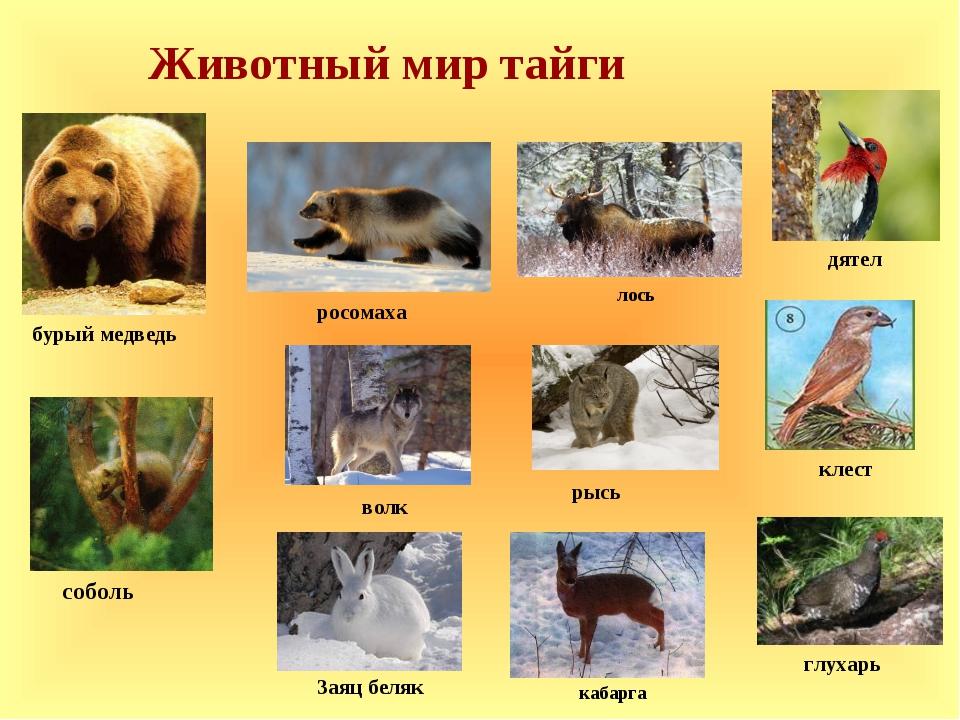 Животный мир тайги лось росомаха бурый медведь рысь Заяц беляк кабарга соболь...