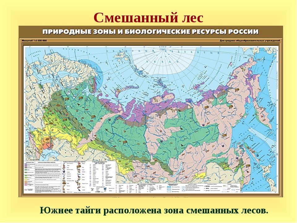 Смешанный лес Южнее тайги расположена зона смешанных лесов.
