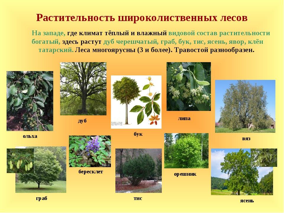 Растительность широколиственных лесов дуб липа ольха На западе, где климат тё...
