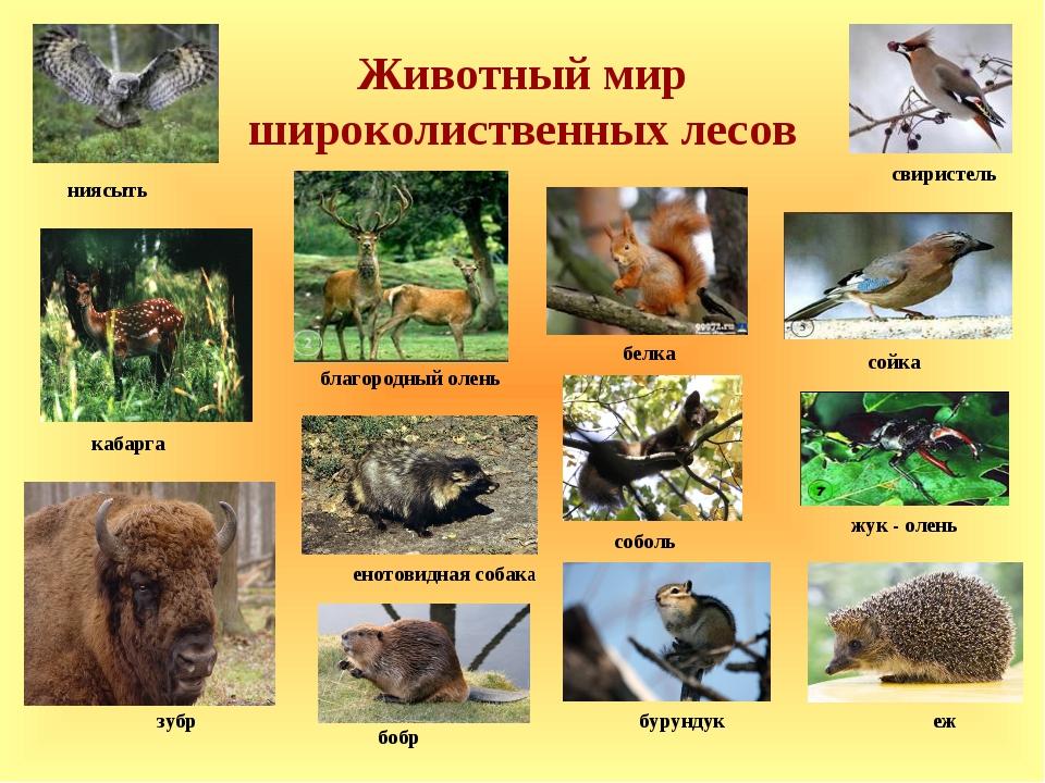 Животный мир широколиственных лесов бобр бурундук соболь зубр кабарга свирист...