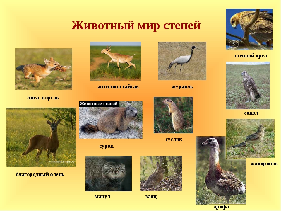 антилопа сайгак лиса -корсак манул журавль дрофа жаворонок заяц благородный...