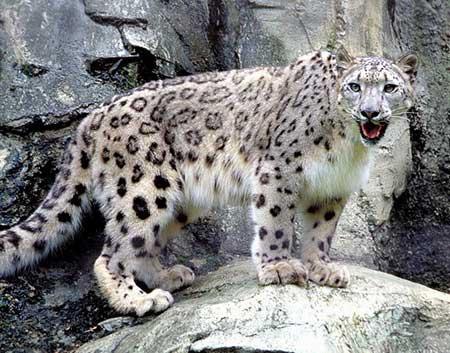 C:\Users\Татьяна\Desktop\красная книга\snow-leopard3.jpg