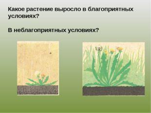 Какое растение выросло в благоприятных условиях? В неблагоприятных условиях?