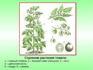 Строение растения томата: 1 – главный стебель; 2 – боковой побег (пасынок); 3