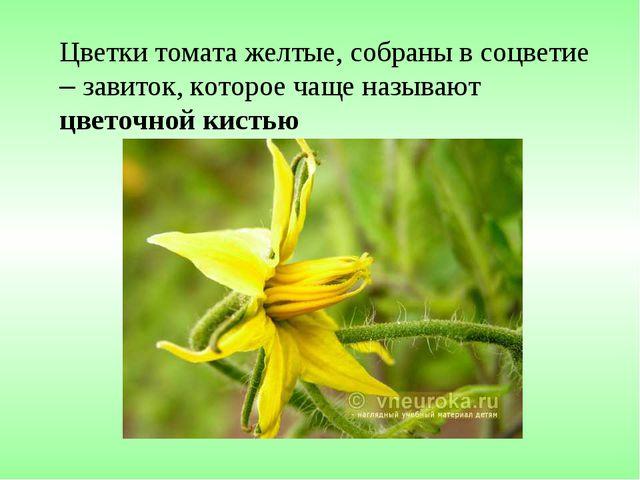 Цветки томата желтые, собраны в соцветие – завиток, которое чаще называют цве...