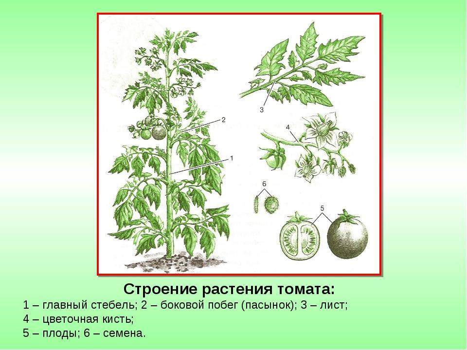 Строение растения томата: 1 – главный стебель; 2 – боковой побег (пасынок); 3...
