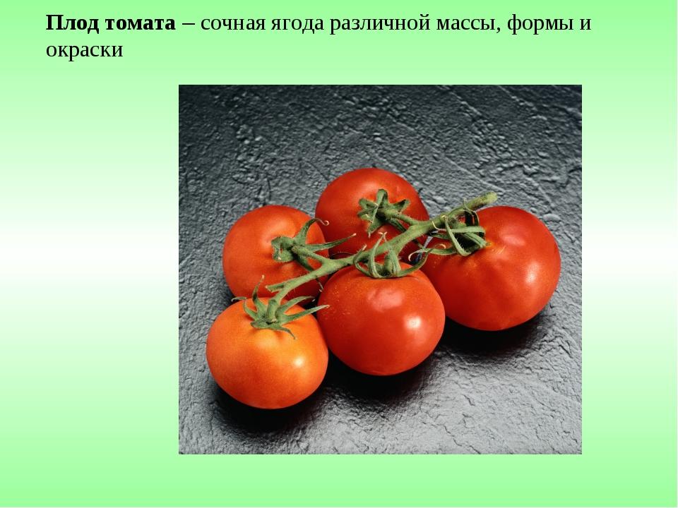 Плод томата – сочная ягода различной массы, формы и окраски