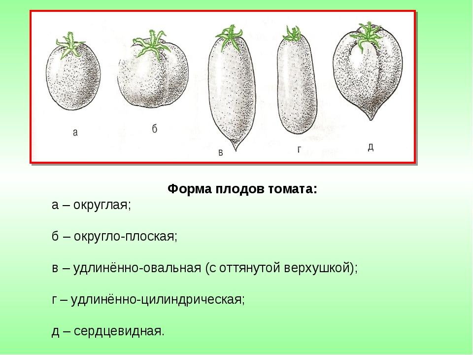 Форма плодов томата: а – округлая; б – округло-плоская; в – удлинённо-овальна...