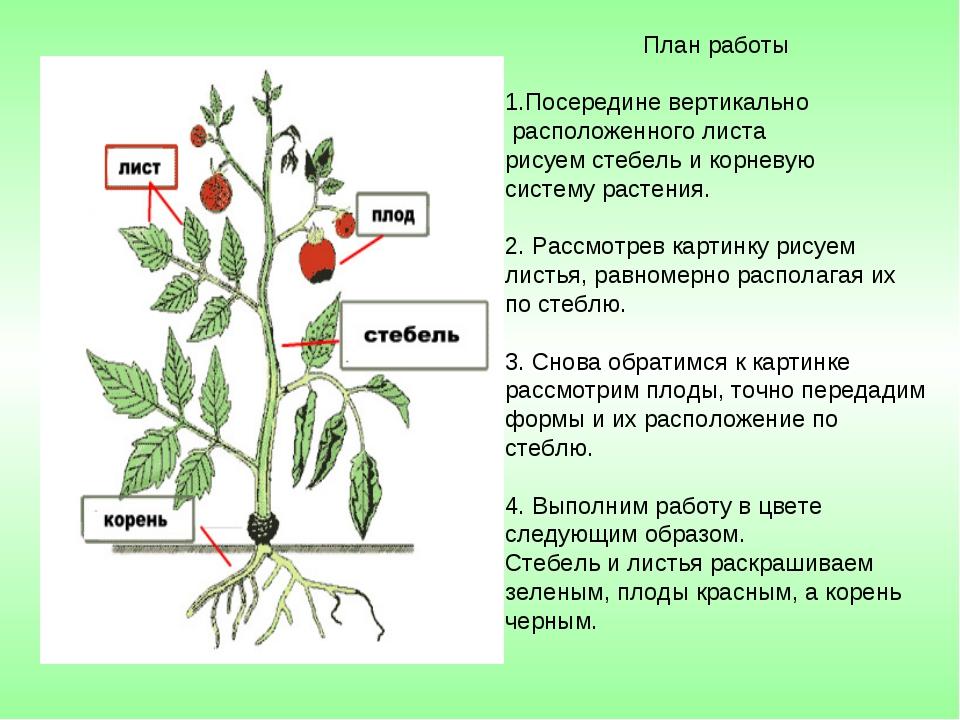 План работы Посередине вертикально расположенного листа рисуем стебель и корн...
