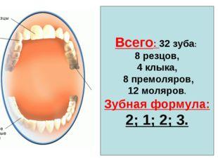 Всего: 32 зуба: 8 резцов, 4 клыка, 8 премоляров, 12 моляров. Зубная формула: