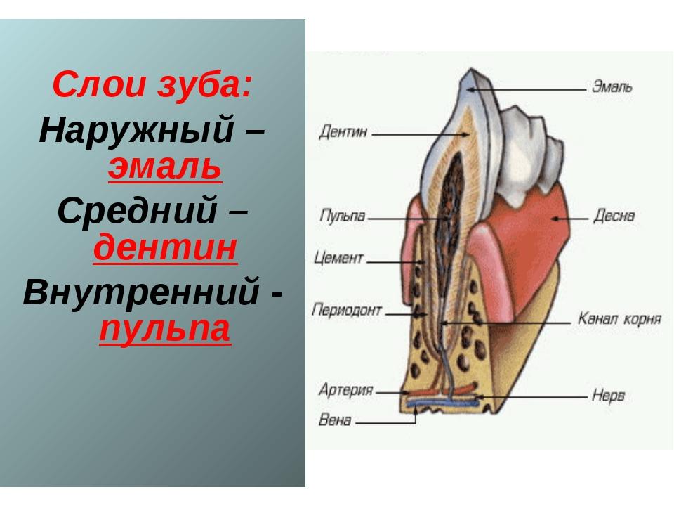 Слои зуба: Наружный – эмаль Средний – дентин Внутренний - пульпа