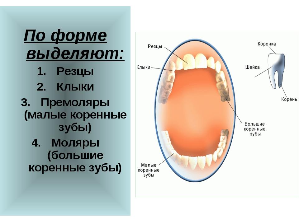 По форме выделяют: Резцы Клыки Премоляры (малые коренные зубы) Моляры (больш...