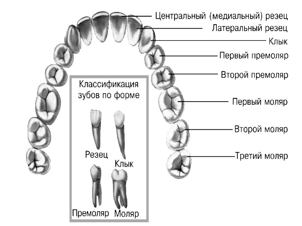 характеризуются типы зубов человека в картинках фабрики