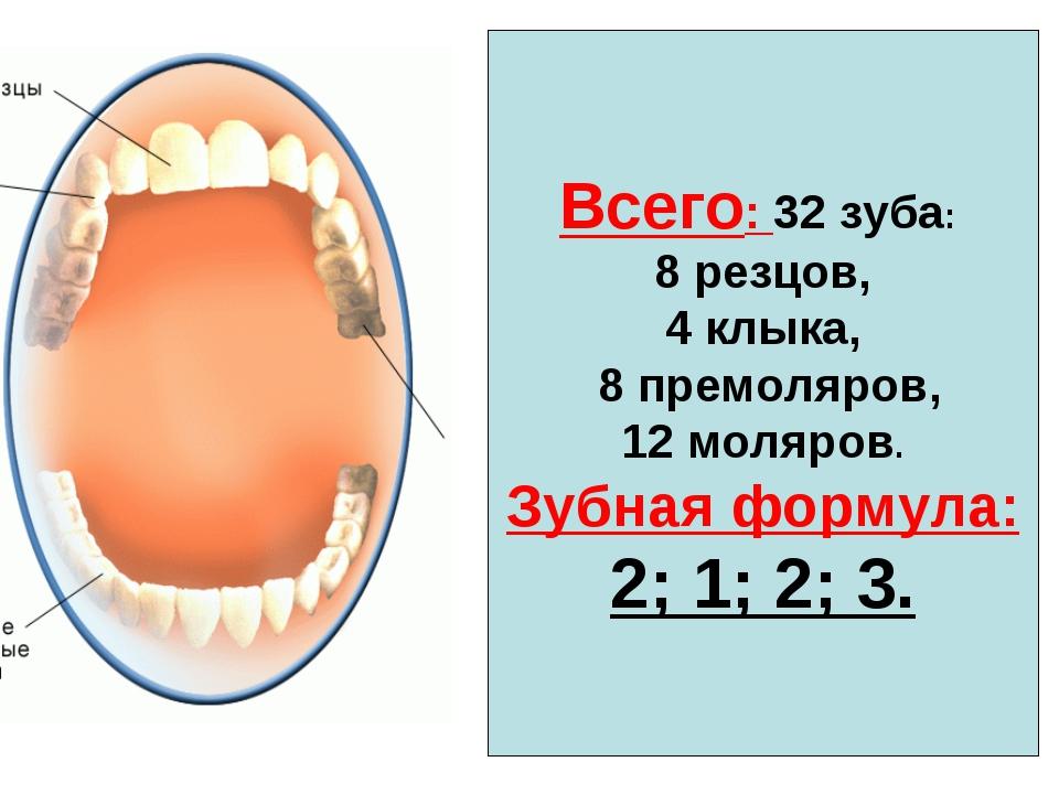 Всего: 32 зуба: 8 резцов, 4 клыка, 8 премоляров, 12 моляров. Зубная формула:...