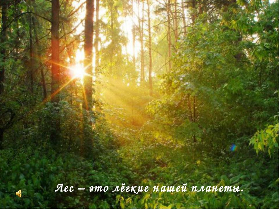 Лес – это лёгкие нашей планеты.