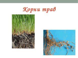 Корни трав