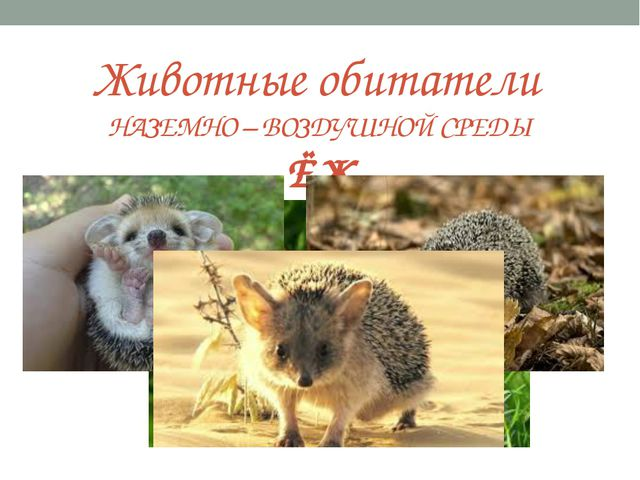Животные обитатели НАЗЕМНО – ВОЗДУШНОЙ СРЕДЫ ЁЖ