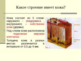 Кожа состоит из 3 слоев: наружного - эпидермиса , внутреннего – собственно ко