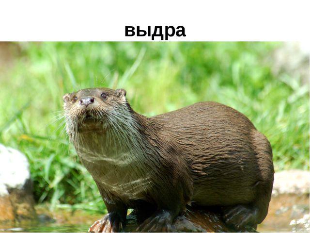 выдра