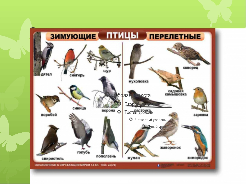 Оседлые и перелетные птицы