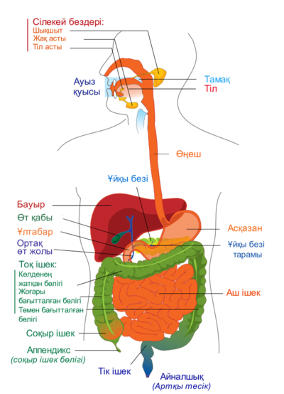 http://upload.wikimedia.org/wikipedia/commons/thumb/7/7c/Digestive_system_diagram_kk.png/400px-Digestive_system_diagram_kk.png