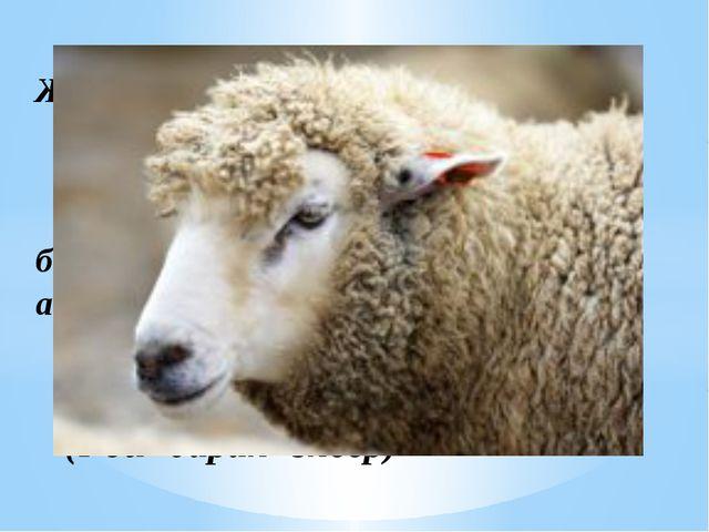 Жұмбақ Аласа ғана бойы бар, айналдырып киген тоны бар. (қой- баран- sheep)