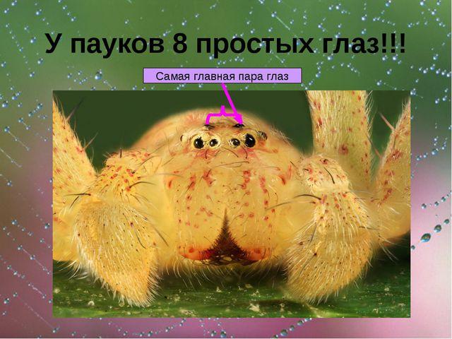 У пауков 8 простых глаз!!! Самая главная пара глаз
