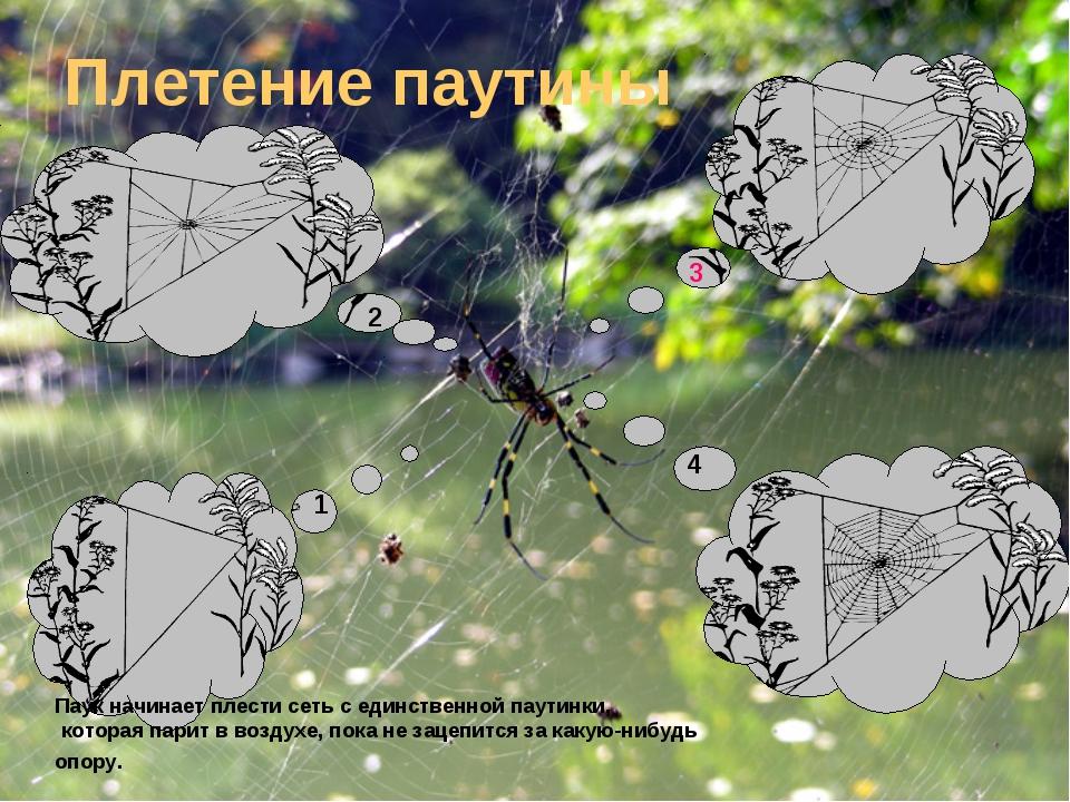 Плетение паутины Паук начинает плести сеть с единственной паутинки, которая п...