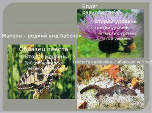 Махаон – редкий вид бабочек Бодяг разнолистный Хвостатая амфибия- сибирский у