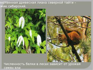 Единственная древесная лиана северной тайги – княжик сибирский. Численность б