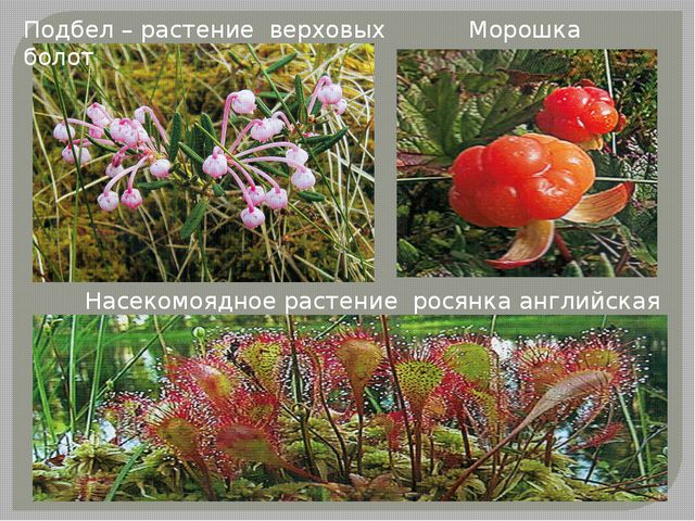 Подбел – растение верховых болот Морошка Насекомоядное растение росянка англи...