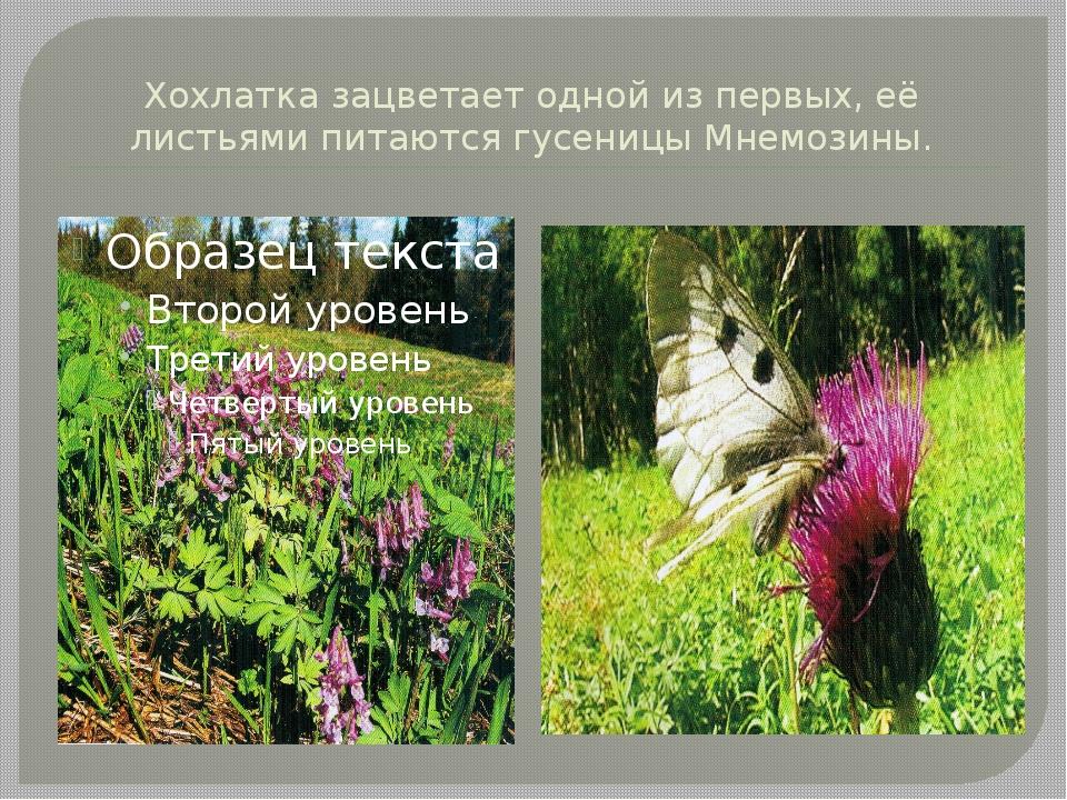 Хохлатка зацветает одной из первых, её листьями питаются гусеницы Мнемозины.