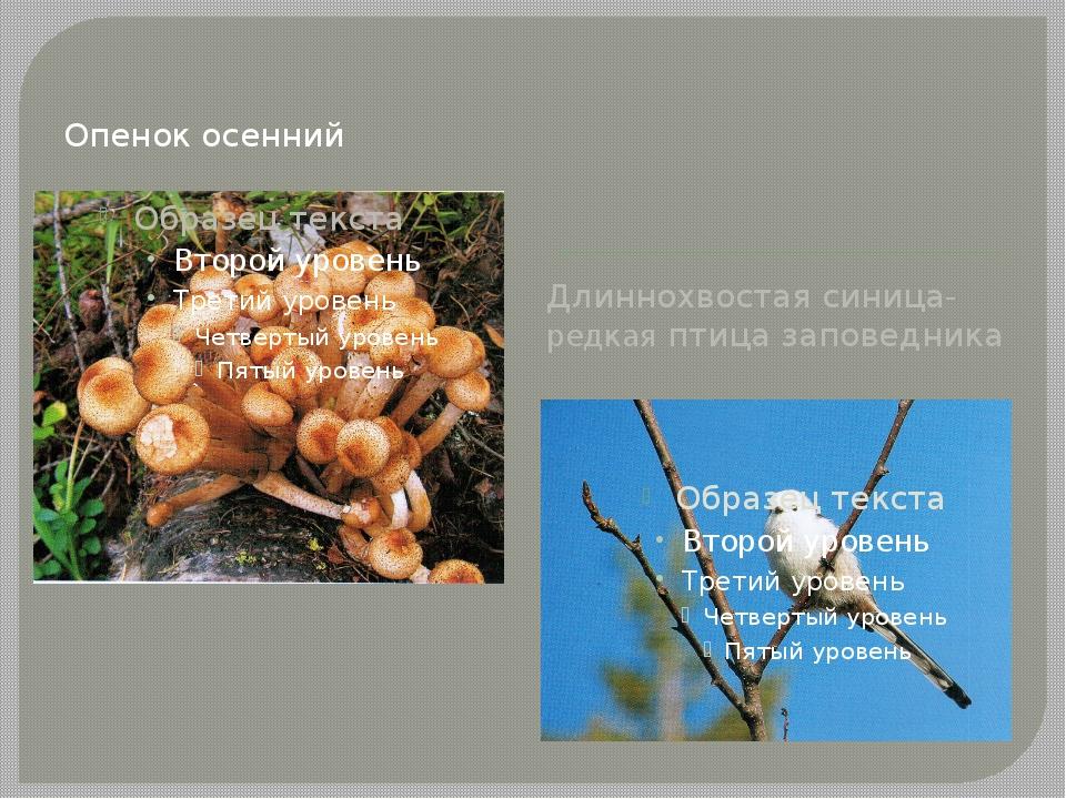 Опенок осенний Длиннохвостая синица- редкая птица заповедника