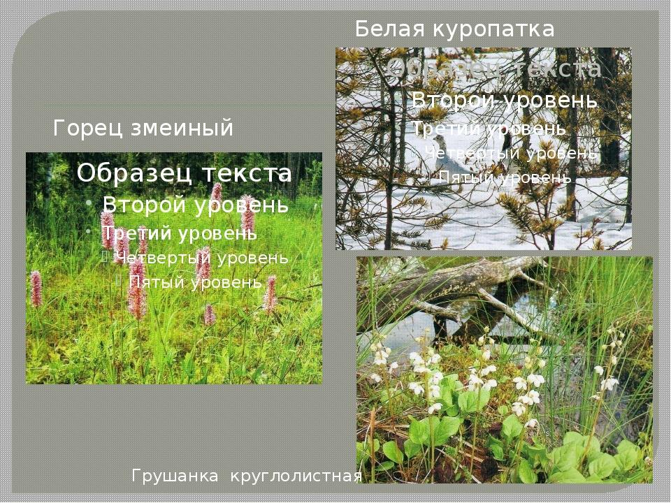 Горец змеиный Белая куропатка Грушанка круглолистная