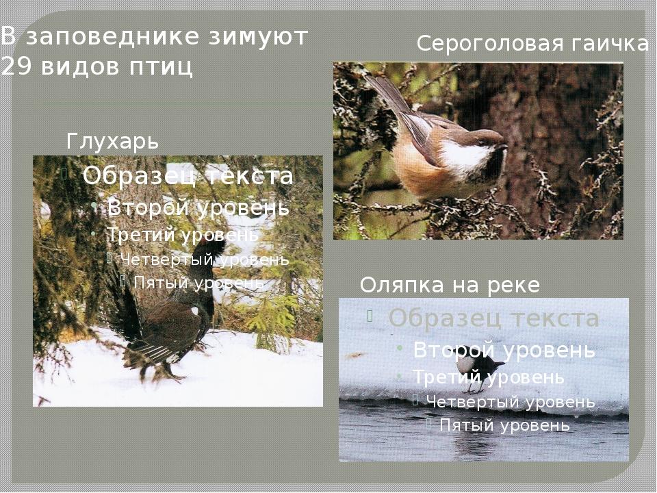 Глухарь Сероголовая гаичка Оляпка на реке В заповеднике зимуют 29 видов птиц