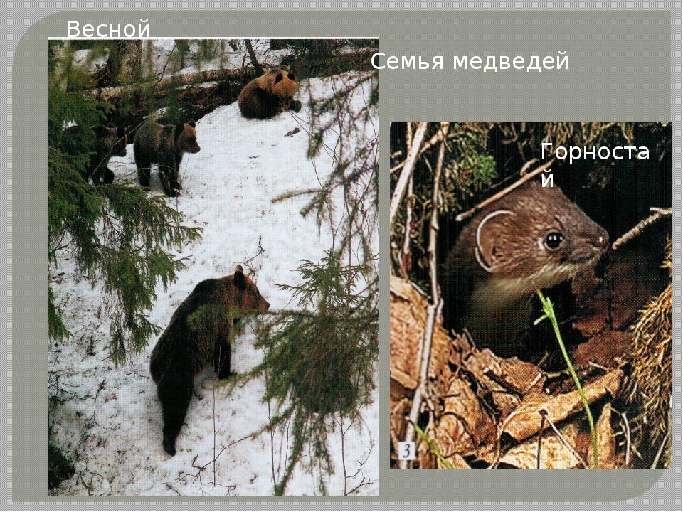 Семья медведей Весной Горностай
