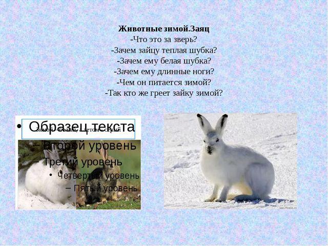 Животные зимой.Заяц -Что это за зверь? -Зачем зайцу теплая шубка? -Зачем ему...