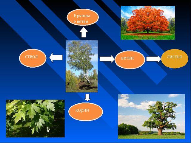 ветви ствол корни Крупные ветви листья