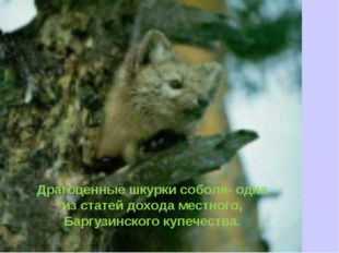 Драгоценные шкурки соболя- одна из статей дохода местного, Баргузинского купе
