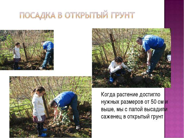 Когда растение достигло нужных размеров от 50 см и выше, мы с папой высадили...