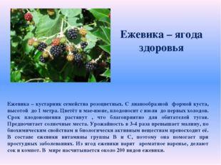Ежевика – ягода здоровья Ежевика – кустарник семейства розоцветных. С лианоо